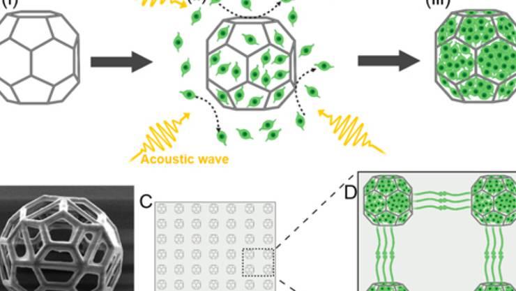 Abbildung, wie Nervenzellen mittels Schallwellen in mikroskopisch kleine, im 3D-Druck-Verfahren hergestellte Käfige gelenkt werden. (Pressebild)