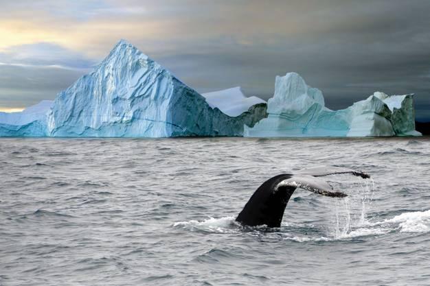 Auch Buckelwale gibt es in der Arktis zu sehen.