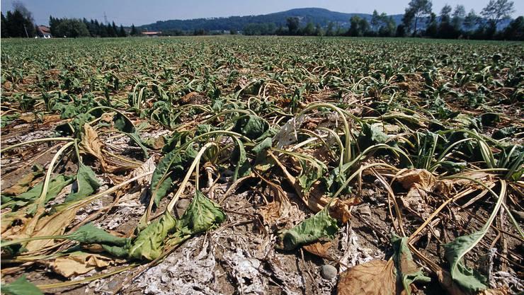 Ein ausgetrocknetes Maisfeld im Aargau im Jahrhundertsommer 2003