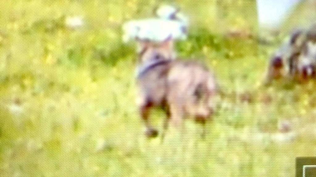 Die Aufnahme der auf der Portersalp aufgestellten Fotofalle zeigt den Wolf.