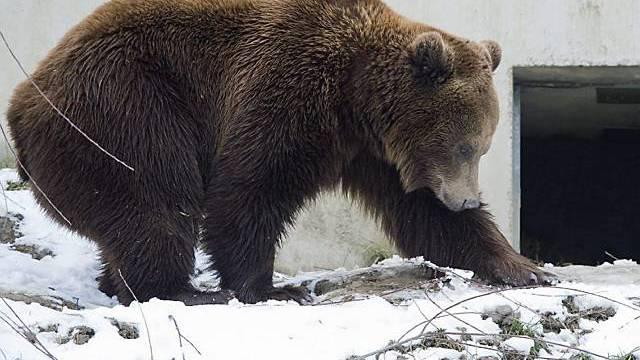 Bär Finn hat sich ebenfalls von dem Zwischenfall erholt