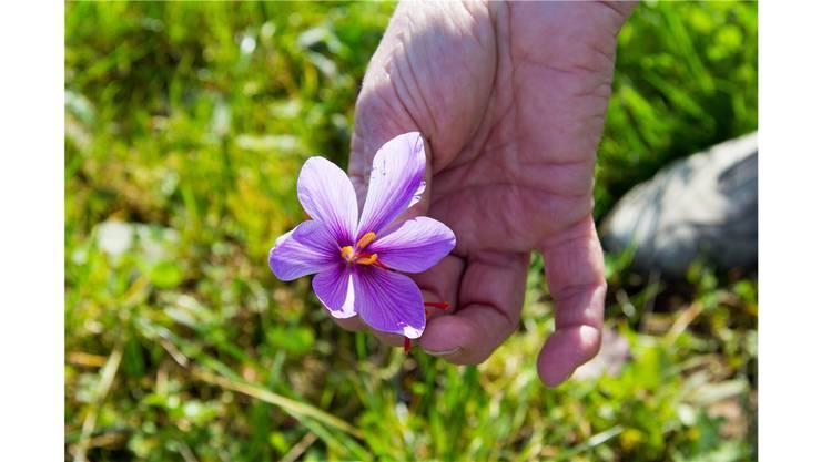 Die violette Blüte der Safranpflanze mit den wertvollen Blütennarben.