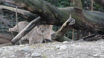 Die milderen Temperaturen freuen die Löwenkinder – und sicher auch die Zoobesucher.