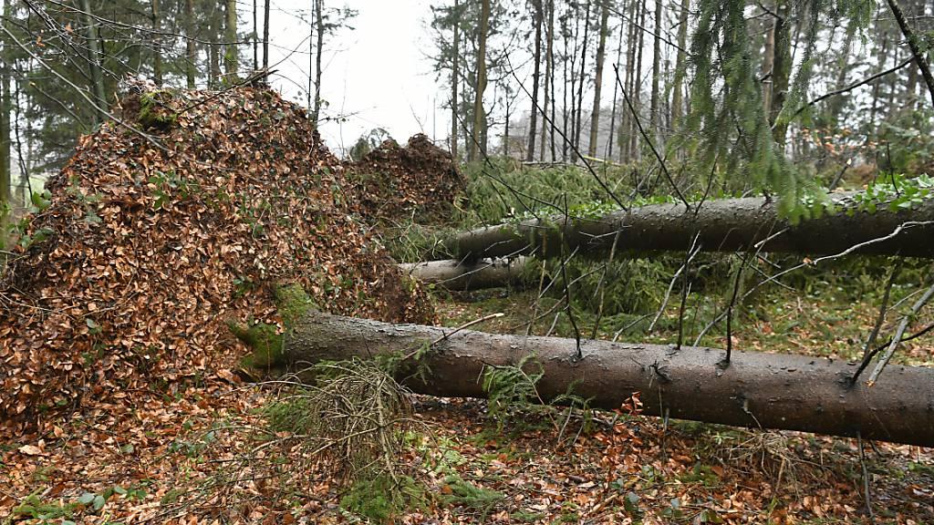 Ein 63-jähriger Waldbesitzer wurde beim Baumfällen in Herisau AR von einer umstürzenden Buche getroffen und tödlich verletzt (Symbolbild).