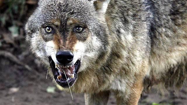 Wolf im Tierpark (Archiv)