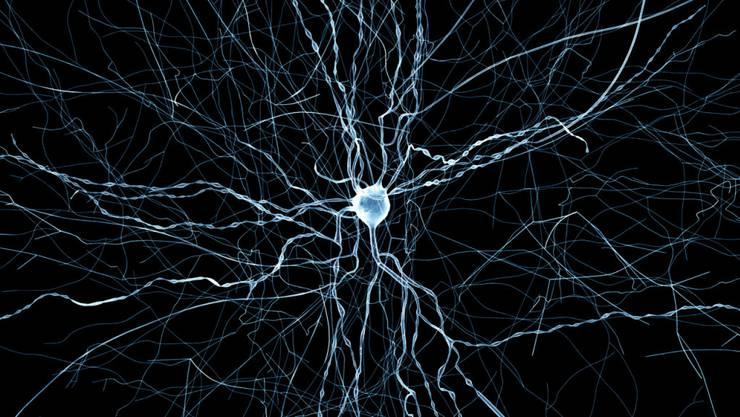 Es gibt einen molekularen Schalter, der die Zellteilung der Hirn-Stammzellen reguliert, schreiben die Forschenden.