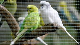 Stehen auf Grips: Wellensittich-Weibchen bevorzugen laut einer Studie clevere Partner. (Symbolbild)