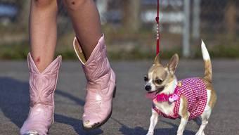 Der Trendhund: Der Chihuahua.