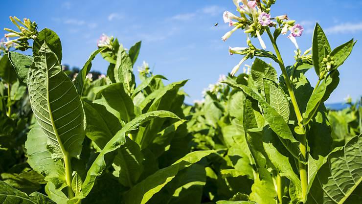 In der Schweiz wird auf immer weniger Flächen Tabak angepflanzt. (Archivbild)