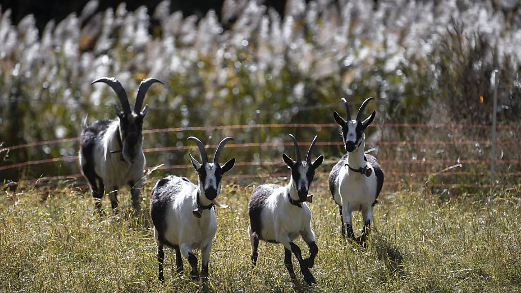 Als sich die Wölfe näherten, brachen die Ziegen aus der umzäunten Weide aus. Drei wurden daraufhin gerissen. (Symbolbild)