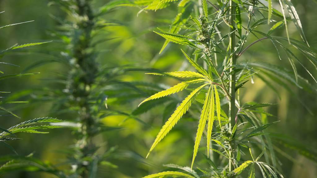 Bis zu 25 Kilogramm Cannabis verkaufte eine Frau in Hohenems.