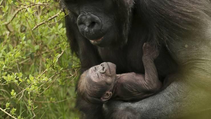 Dieses Gorilla-Baby ist Anfang April in einem Zoo in Dublin zur Welt gekommen.