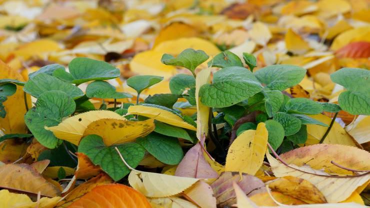 In Rabatten und Beeten wirkt Herbstlaub wie eine wohlige Decke vor Kälte und Trockenheit.