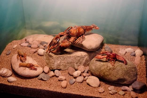 Lebensraum Gewässer: Der eingeschleppte Signalkrebs in der Mitte verdrängt die heimischen Arten.