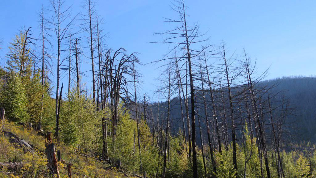 Die Gerippe abgebrannter Bäume zeugen noch vom Waldbrand bei Leuk VS im Jahr 2003. Um sie herum ist das Leben jedoch mit Macht zurückgekehrt.