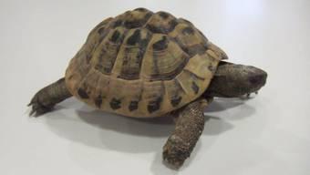 Schildkröte Ziggy wurde gerettet