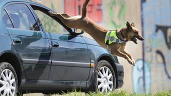 Ein Diensthund verfolgt einen Verdächtigen während einer Übung