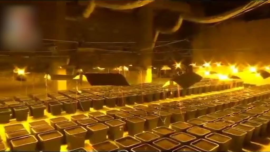 Riesige Marihuana-Plantage versteckt hinter Duschwand