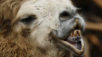 Neben Hunden und Katzen werden in der Schweiz auch exotischere Tiere wie Kamele und Giraffen als Heimtiere gehalten, wie ein Blick in die einschlägigen Datenbanken zeigt. (Symbolbild)