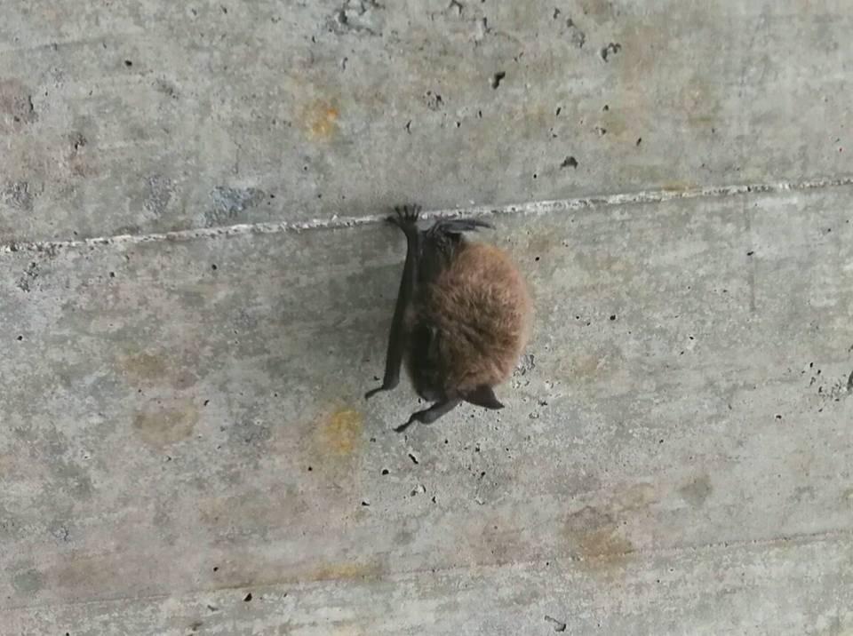 Wir hoffen, die Fledermaus hat sich hier nur kurz ausgeruht. (Bild: Thomas Russenberger)