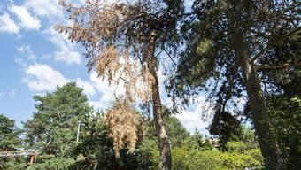 Tote Bäume prägen nach dem Hitzesommer 2018 das Bild in manchen Wäldern der Region Basel. Auch in der Stadt hat die Trockenheit die Baumreihen lichter werden lassen.