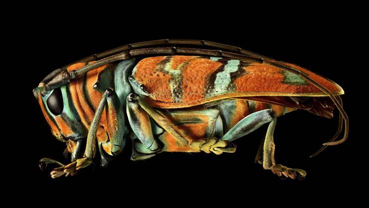 Erinnert an H.R. Gigers Alien: Der Pracht-Bockkäfer aus Nigeria, dessen spektakuläre Musterung von hauchdünnen Schuppen herrührt.