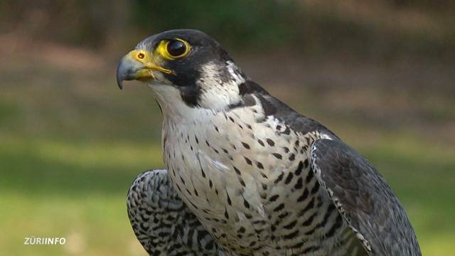 Auf der Suche nach dem Falkenkiller