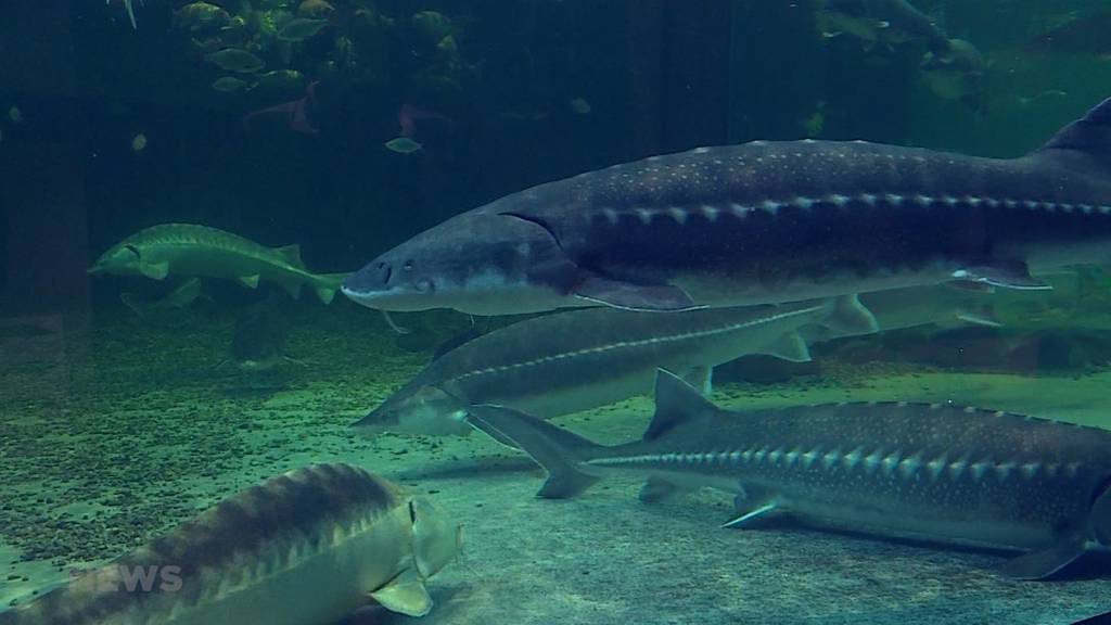 """""""Fisch-Züglete"""": Zwei Meter langer Stör wird umgesiedelt"""