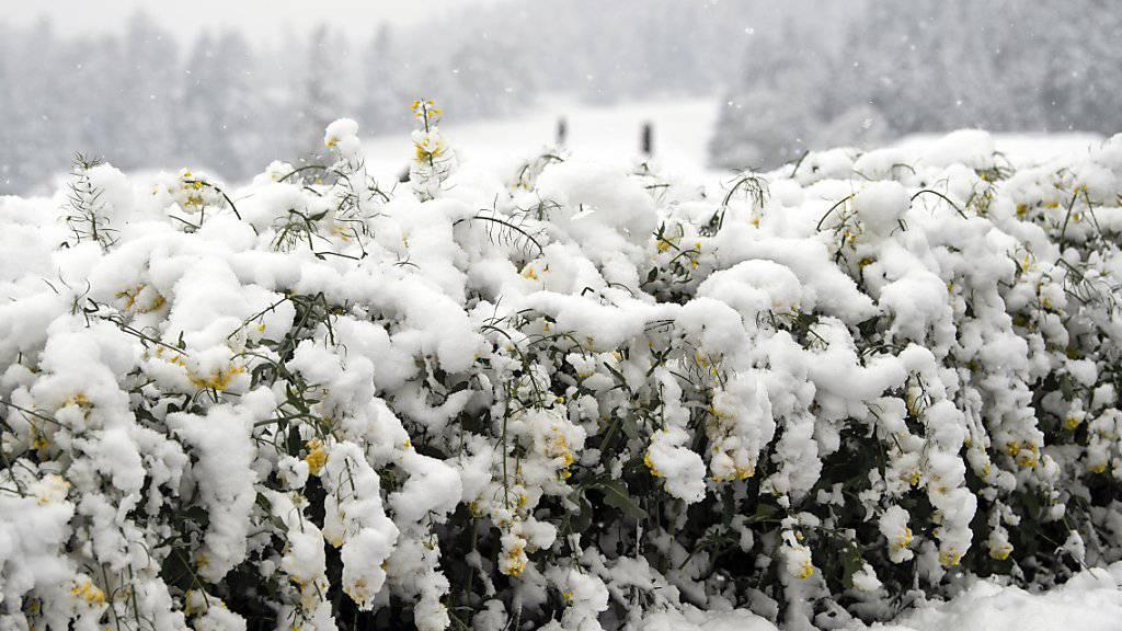 Die Schneelast drückt auf die Pflanzen: Ein Rapsfeld in Noflen BE. (KEYSTONE/Peter Schneider)