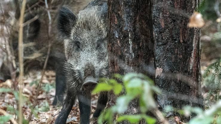 Im Mettauertal sollen künftig mehr Wildschweine geschossen werden.