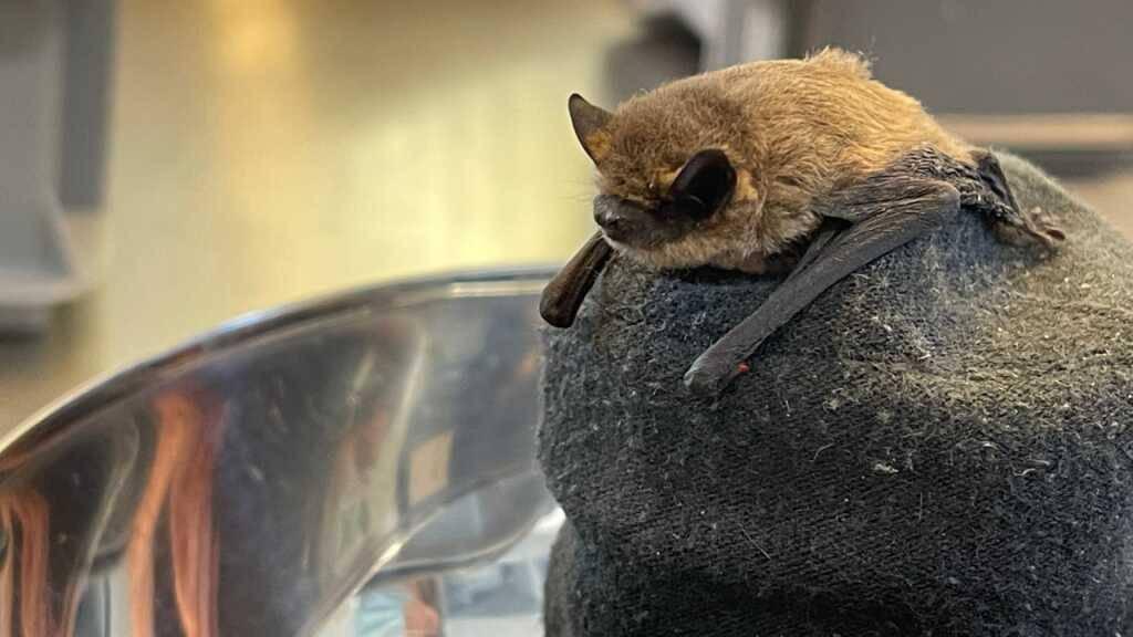 Viele Fledermausmütter mussten ihre Jungtiere wegen des vielen Regens aufgeben: eine Zwergfledermaus in der Notpflegestation.