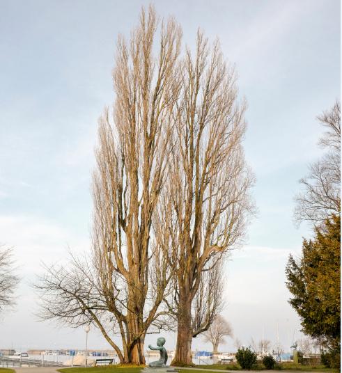 Diese beiden hundertjährigen Bäume werden gefällt. (Bild: zVg)