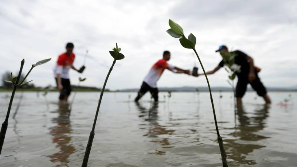 Mangroven sind nicht nur gute CO2-Fänger, sondern dienen auch der Befestigung von Küstengebieten. Hier in der indonesischen Provinz Aceh wird ein Mangrovenwald gepflanzt als Tsunami-Schutz und Naherholungsgebiet. (Archivbild)