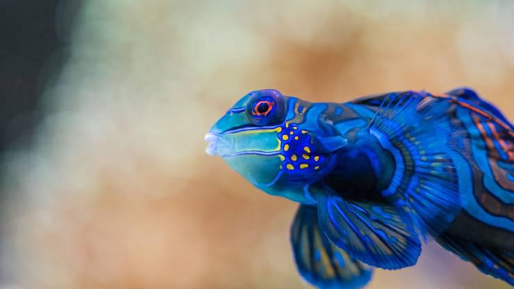 Seiner Farbenpracht hat der Mandarinfisch den Namen zu verdanken.