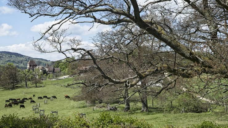 Die frostigen Nächte Ende April haben den Eichenhain beim Schloss Wildenstein stark mitgenommen.