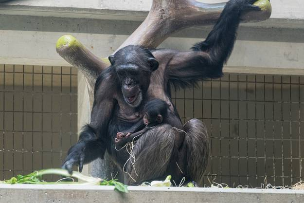 Fifi mit Jungtier Quebo - Neue Schimpansen im Basler Zoo, Zolli