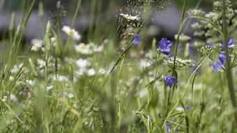 Glockenblumen in einer Magerwiese (Archivbild)