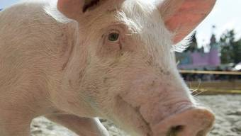 Schweine haben mehr Geruchsgene als die meisten anderen Säugetiere