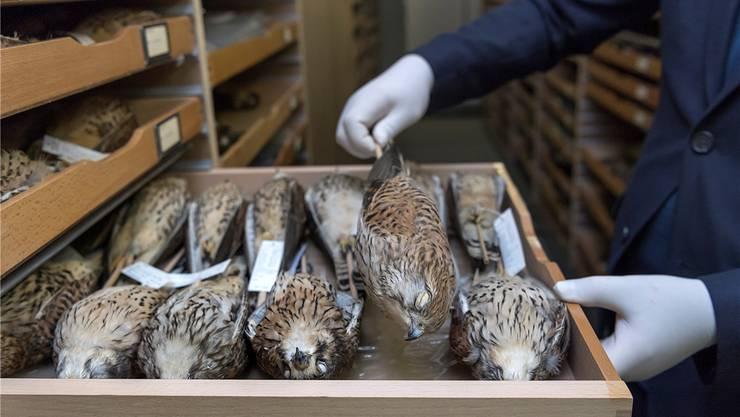 Musste Federn lassen: Auch im Naturhistorischen Museum Basel liess Stefan G. Exponate mitlaufen.